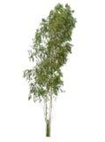 Isolatträd på vit bakgrund Royaltyfri Foto