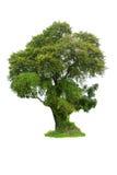 Isolatträd på vit bakgrund Arkivbilder