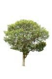 Isolatträd på vit bakgrund Royaltyfri Bild
