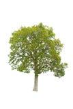 Isolatträd på vit bakgrund Fotografering för Bildbyråer