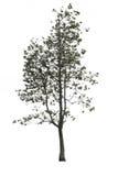 Isolatträd på vit bakgrund Royaltyfria Bilder