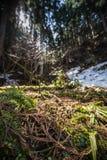 Isole di neve in foresta verde illuminata con il sole Fotografie Stock Libere da Diritti