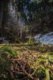 Isole di neve in foresta verde illuminata con il sole Immagine Stock Libera da Diritti