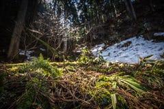 Isole di neve in foresta verde illuminata con il sole Immagini Stock