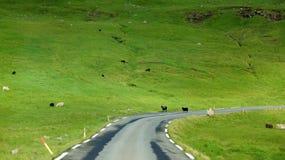 Isole faroe, pecore che attraversano la strada Fotografie Stock