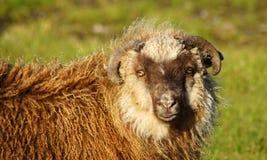 Isole faroe, pecore si chiudono su Fotografia Stock