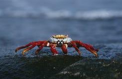 Isole Galapagos Sally Lightfoot Crab dell'Ecuador sulla fine della roccia su Fotografia Stock
