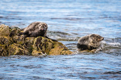 Isole Grey Seals di Farne Immagine Stock