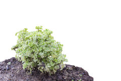 Isole a mini planta nova real do arbusto na terra Foto de Stock