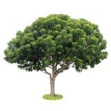 Isoleer de bladeren van de neemboom, groene vruchtbaar Royalty-vrije Stock Foto