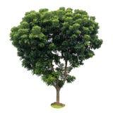 Isoleer de bladeren van de neemboom, groene vruchtbaar Royalty-vrije Stock Foto's