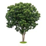 Isoleer de groene bladeren van de neemboom Royalty-vrije Stock Foto's