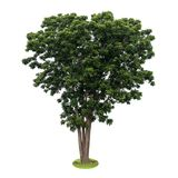 Isoleer de groene bladeren van de neemboom Royalty-vrije Stock Foto