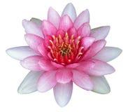 Isoleer het roze water van de lotusbloembloem Royalty-vrije Stock Afbeeldingen