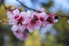 Isoleer roze witte kersenbloemen Royalty-vrije Stock Foto