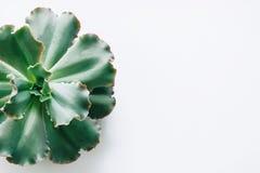 Isoleerde de groene succulente installaties op een witte achtergrond royalty-vrije stock foto