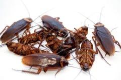 Isoleert de groeps dode kakkerlak op witte achtergrond Stock Afbeeldingen