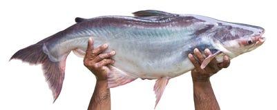 Isoleert Reuzevissen royalty-vrije stock afbeeldingen