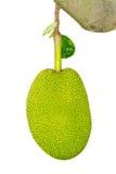 Isoleert van groene jackfruit Royalty-vrije Stock Foto