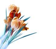 Isolement de bouquet de fleur de crocus de couleur de ressort Photographie stock libre de droits