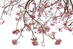 Isolement des branches de trompette ou de l'impetiginosus roses de handroanthus Image libre de droits