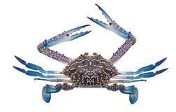 Isolement frais de crabe sur le blanc Images libres de droits