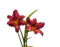 Isolement miniature pourpre de hemerocallis (daylily) Photo stock