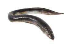 Isolerad ål fotografering för bildbyråer