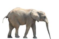 isolerad afrikansk elefant Royaltyfri Foto