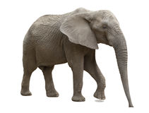 Isolerad afrikansk elefant Arkivfoton