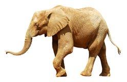 isolerad afrikansk elefant Arkivfoto