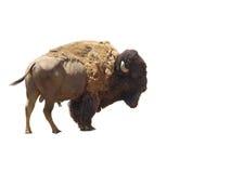 isolerad amerikansk bison Royaltyfria Foton