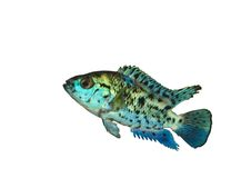 isolerad amerikansk blå exotisk fisk Fotografering för Bildbyråer