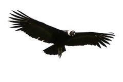 isolerad andean condor Arkivfoto
