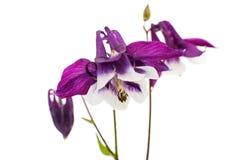 Isolerad Aquilegia blomma Fotografering för Bildbyråer