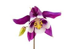 Isolerad Aquilegia blomma Arkivbilder