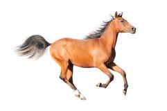 isolerad arabisk häst Arkivbild