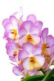 Isolerad Ascocentrum orkidé Arkivbild
