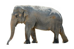 isolerad asiatisk elefant Royaltyfri Fotografi