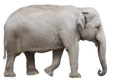 Isolerad asiatisk elefant Fotografering för Bildbyråer