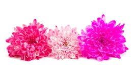 Isolerad Autumn Chrysanthemum blomma fotografering för bildbyråer