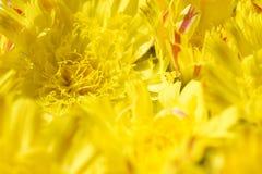 Isolerad bakgrund av den gula tusenskönan för blommor med en gul kärna och orange kronblad arkivbilder