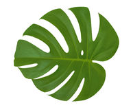 Isolerad bakgrund för vit för bladMonstera växt Exotisk tropisk palmträd Royaltyfria Bilder