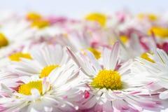 Isolerad bakgrund med blommor för vit tusensköna med en gul kärna och rosa kronblad royaltyfri fotografi