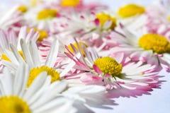 Isolerad bakgrund med blommor för vit tusensköna med en gul kärna och rosa kronblad arkivbild