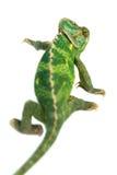 isolerad bana för kamouflagekameleont clipping Arkivfoto