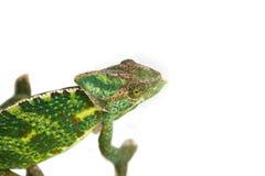isolerad bana för kamouflagekameleont clipping Royaltyfri Fotografi