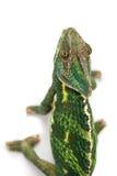 isolerad bana för kamouflagekameleont clipping Arkivbilder