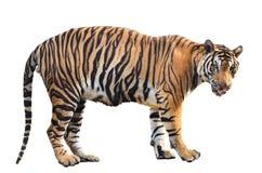 Isolerad Bengal tiger Arkivbilder