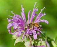 Isolerad bild av ett honungsbisammanträde på blommor Arkivfoton